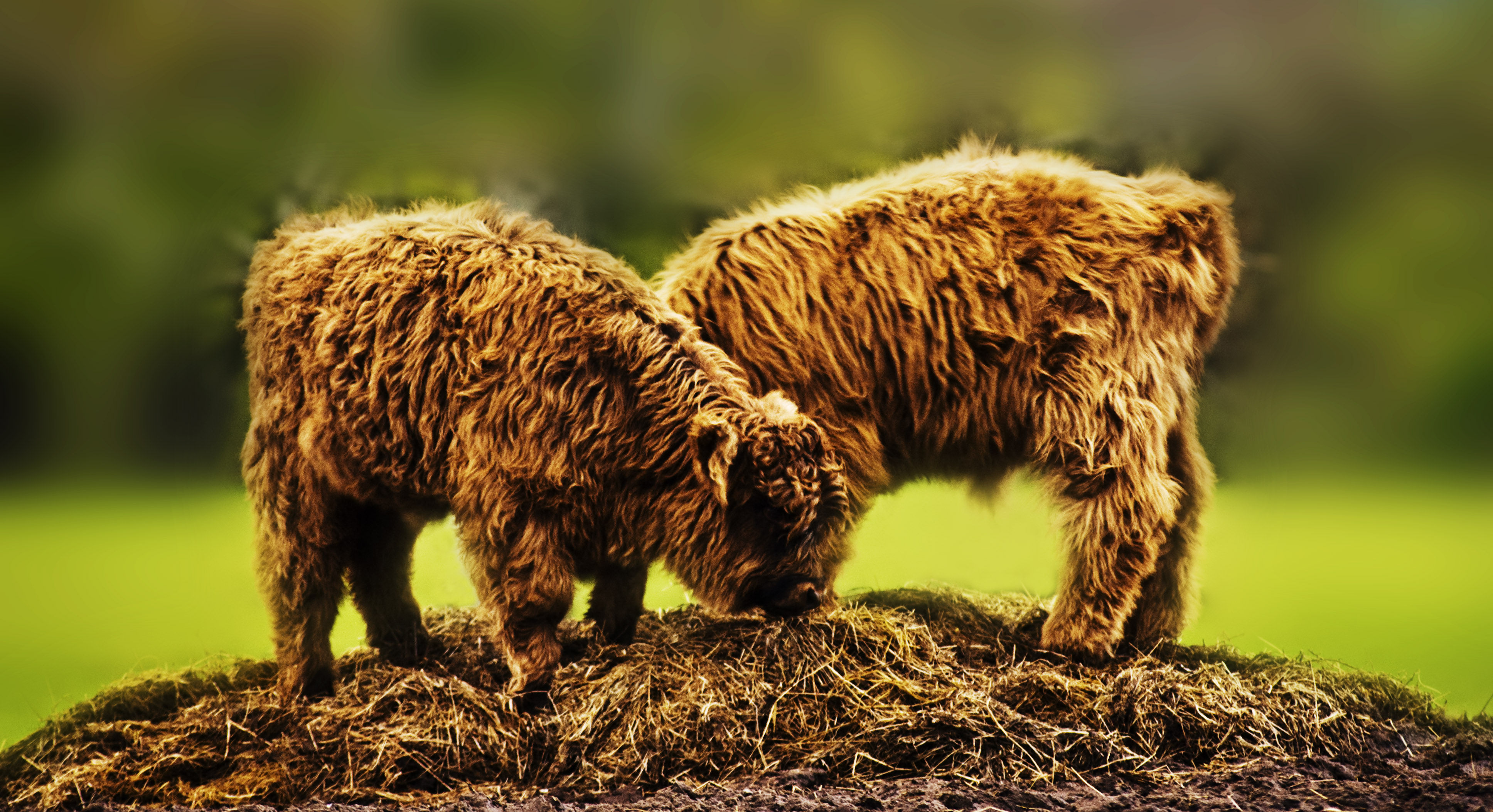 The county agricultural show: not simply a place to coo over highland coos! (Photo courtesy of Mike Fraser)